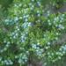 Juniperus ashei - Photo (c) F. Douglas Martin, kaikki oikeudet pidätetään