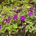 Violetas Mexicanas - Photo (c) edgarsalmeronbarrera, todos los derechos reservados