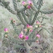 Tree Cholla - Photo (c) Willene Thrasher Woods, all rights reserved