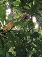 Gustavia superba image