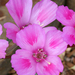 Farewell-To-Spring - Photo (c) Annie's Annuals & Perennials, some rights reserved (CC BY)