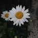 Shasta Daisy - Photo (c) Samantha Vo, all rights reserved