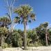 Sabal palmetto - Photo (c) poncholibre, όλα τα δικαιώματα διατηρούνται