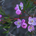 Pink Boronia - Photo (c) Eric in SF, all rights reserved, uploaded by Eric Hunt