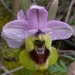 Sawfly Orchid - Photo (c) Karim Haddad, all rights reserved