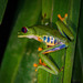 Red-eyed Tree Frog - Photo (c) M. Omick, all rights reserved