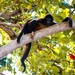 Guiana Spider Monkey - Photo (c) Jose Carlos Morales Rosas, all rights reserved