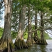 Baldcypress - Photo (c) Matthew Daigle, all rights reserved