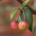 Chilean Guava - Photo (c) Claudio Alejandro Maureira Rosales, all rights reserved