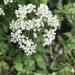Cow Parsley - Photo (c) agsqwerty, all rights reserved