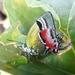 Lamasina - Photo (c) Devison Gallo, todos los derechos reservados