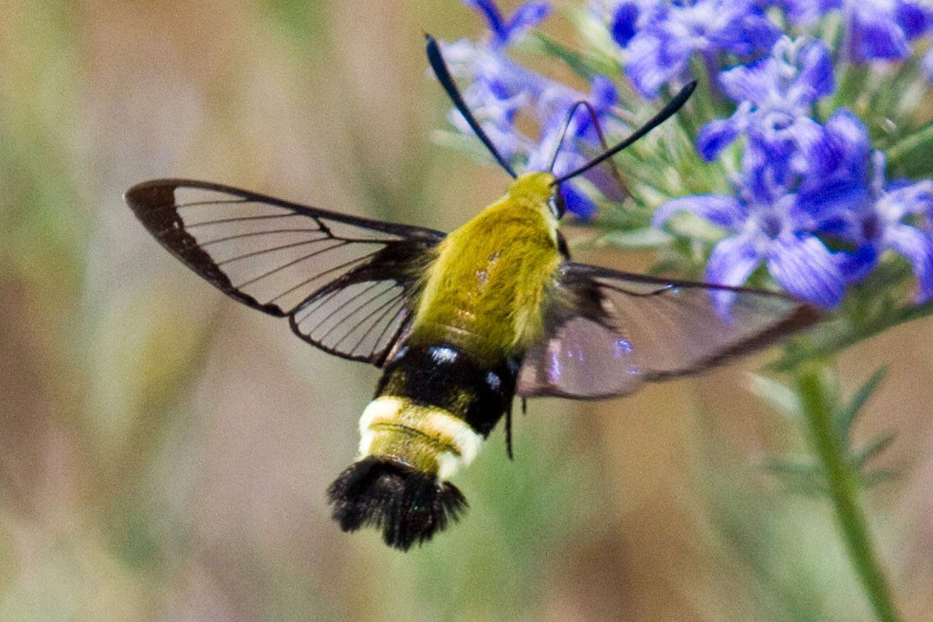 Rocky Mountain Clearwing (Hemaris thetis) · iNaturalist org
