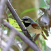Calicalicus madagascariensis - Photo (c) Nigel Voaden, todos los derechos reservados