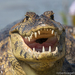 Alligators and Caimans - Photo (c) Robert Siegel, all rights reserved