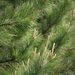 Monterey Pine - Photo (c) mazer, all rights reserved