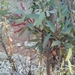 Tapinanthus forbesii - Photo (c) Rona Botha Ash, all rights reserved