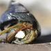 Blueband Hermit Crab - Photo (c) justinscioli, all rights reserved