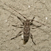 Acanthocinus obsoletus - Photo (c) hsvgardengirl, all rights reserved