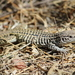 Gray-checkered Whiptail - Photo (c) Michael Price, all rights reserved