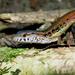 Cercosaura ocellata - Photo (c) pedroivosimoes, todos los derechos reservados, uploaded by pedroivosimoes