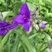 Virginia Spiderwort - Photo (c) reginav, all rights reserved