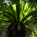Bird's Nest Fern - Photo (c) Eric in SF, all rights reserved, uploaded by Eric Hunt