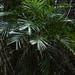Linospadix monostachya - Photo (c) Eric in SF, todos los derechos reservados, uploaded by Eric Hunt
