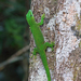 Phelsuma madagascariensis - Photo (c) Nigel Voaden, todos los derechos reservados