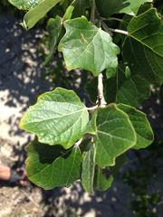 Image of Populus alba