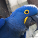 Hyacinth Macaw - Photo (c) Robert Siegel, all rights reserved