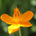 Trollius chinensis - Photo (c) flickerer2004, all rights reserved
