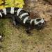 Salamandra de Mármol - Photo (c) mattbuckingham, todos los derechos reservados