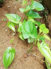 Image of Dioscorea bulbifera