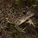 Southern Crawfish Frog - Photo (c) mattbuckingham, all rights reserved