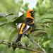 Calandria Pecho Moteado - Photo (c) Jay Keller, todos los derechos reservados, uploaded by Jay L. Keller