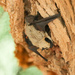 Canyon Bat - Photo (c) Chris McCreedy, all rights reserved