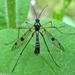 Ptychoptera - Photo (c) Miranda Engelshoven, todos los derechos reservados