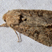 Lacanobia radix - Photo (c) Van Truan, todos los derechos reservados