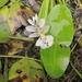 Aponogeton distachyos - Photo (c) Melissa Hutchison, todos los derechos reservados