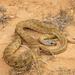 Algerian Whip Snake - Photo (c) Karim Chouchane, all rights reserved