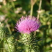 Thistles - Photo (c) David Foster, all rights reserved