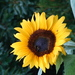 Common Sunflower - Photo (c) David Foster, all rights reserved