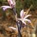 Limodorum trabutianum - Photo (c) Karim Chouchane, todos los derechos reservados, uploaded by naturalist