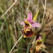 Ophrys fuciflora dinarica - Photo (c) naturalist, all rights reserved