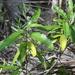 Solanum bahamense - Photo (c) Jay Keller, todos los derechos reservados, uploaded by Jay L. Keller