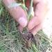 Aristolochia maurorum - Photo (c) Gokce Hasdemir, todos los derechos reservados