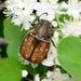 Gnorimus subopacus - Photo (c) WonGun Kim, all rights reserved