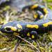 Salamandra-de-Pintas-Amarelas - Photo (c) Peter Wijnsouw, todos os direitos reservados