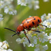 Spotted Asparagus Beetle - Photo (c) Kyryliuk Ihor, all rights reserved