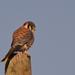 Falco sparverius cinnamominus - Photo (c) Diego Castro, todos los derechos reservados